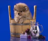 Groop de chiot de chien de Noël Photo libre de droits