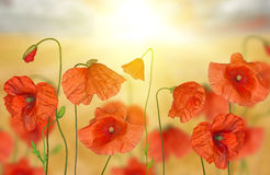 Groop of red poppy flowers under bright sunlight Royalty Free Stock Photos