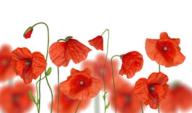 Groop of red poppy flowers on white Royalty Free Stock Image