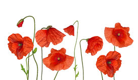 Groop of wild red poppy flowers on white Stock Images