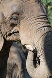 Groot Afrikaans Olifants drinkwater Stock Foto