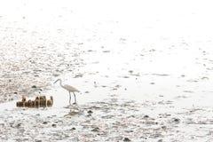 Groot Aigrette het voederen voedsel op mudflats stock afbeeldingen