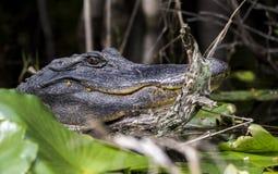 Groot Amerikaans Krokodille dicht omhooggaand Okefenokee-Moeras royalty-vrije stock fotografie