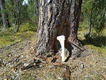 Groot been van elanden in het bos royalty-vrije stock afbeelding