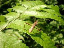 Groot beneninsect, Noordelijk van Thailand Royalty-vrije Stock Fotografie