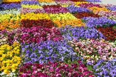 Groot bloembed van viooltjes van verschillende kleuren Royalty-vrije Stock Afbeelding