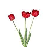 Groot boeket van rode geïsoleerde tulpen Royalty-vrije Stock Afbeelding