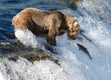 Groot bruin Alaska draagt wachtend op zalm royalty-vrije stock fotografie