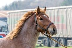 Groot bruin paard Stock Fotografie