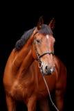 Groot bruin paardportret op zwarte achtergrond Stock Afbeelding