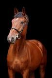 Groot bruin paardportret op zwarte achtergrond Royalty-vrije Stock Foto's