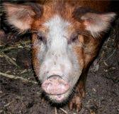 Groot bruin varken bij het landbouwbedrijf stock afbeeldingen