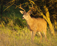 Groot Buck Emerging royalty-vrije stock foto