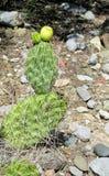 Groot cactusnaalden en fruit Royalty-vrije Stock Afbeeldingen