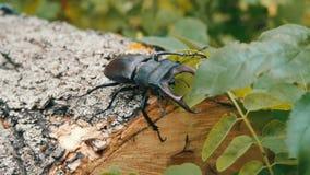 Groot cervuskruipen van keverlucanus langs de schors van boom stock footage