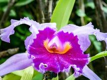 Groot close-up van een roze orchidee stock afbeeldingen