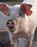 Groot de close-upportret van de varkenssnuit Stock Afbeeldingen