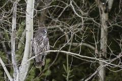 Groot die Grey Owl in een bos wordt neergestreken Royalty-vrije Stock Afbeeldingen