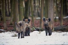 Groot everzwijn in het Europese bos royalty-vrije stock foto's