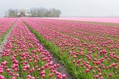 Groot gebied met talrijk van rode en purpere tulpen stock foto's