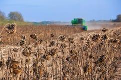 Groot gebied van droge zonnebloem, in achtergrond het grote maaimachine rijp maaien, Gewas op het gebied op een zonnige dag Stock Afbeeldingen