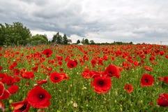 Groot gebied van rode papavers Royalty-vrije Stock Foto