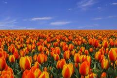 Groot gebied van tulpen en blauwe hemel Stock Foto's