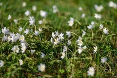 groot gebied van witte anemoonbloemen in de lente stock afbeelding