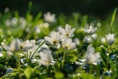 groot gebied van witte anemoonbloemen in de lente stock fotografie