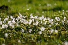 groot gebied van witte anemoonbloemen in de lente stock afbeeldingen