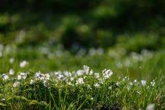 groot gebied van witte anemoonbloemen in de lente stock foto