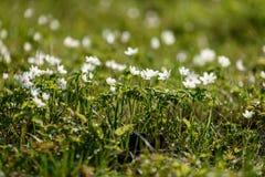 groot gebied van witte anemoonbloemen in de lente stock foto's