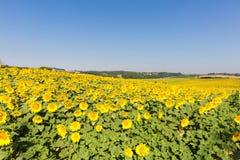 Groot gebied van zonnebloemen tegen een blauwe hemel stock foto