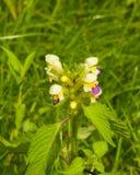 Groot-gebloeid hennep-Netel of Edmonton hempnettle, Galeopsis Speciosa, installatie met bloemen op bokehachtergrond royalty-vrije stock foto's