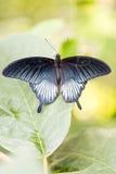 Groot Geel Mormoons Papilio-lowimannetje met open vleugels op blad Stock Foto