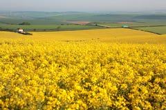 Groot geel verkrachtingsgebied in Dorset in de Lente stock foto's