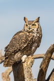 Groot Gehoornd Owl Close Up Royalty-vrije Stock Foto's
