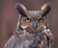 Groot Gehoornd Owl Ears Stock Foto's