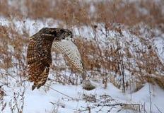 Groot Gehoornd Owl Flying royalty-vrije stock foto
