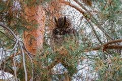 Groot Gehoornd Owl Looking royalty-vrije stock fotografie