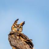 Groot Gehoornd Owl Looking Backwards in de Wind stock foto