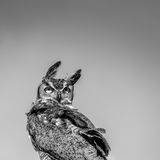 Groot Gehoornd Owl Looking Backwards in de Wind - B&W royalty-vrije stock afbeelding
