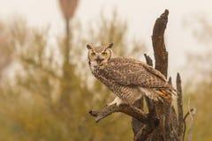 Groot gehoornd Owl Squawking Royalty-vrije Stock Afbeeldingen