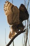 Groot Gehoornd Owl Wings Outstretched op Tak stock fotografie