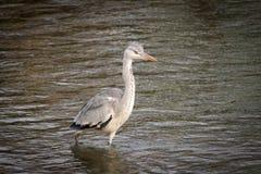 Groot Gray Heron Stalking royalty-vrije stock fotografie