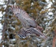 Groot Gray Owl Royalty-vrije Stock Fotografie