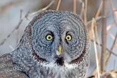 Groot Gray Owl Stock Afbeeldingen
