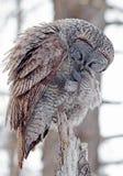 Groot Gray Owl Stock Fotografie