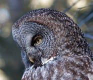 Groot Gray Owl Royalty-vrije Stock Afbeeldingen