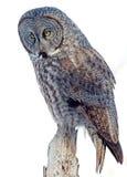 Groot Gray Owl Royalty-vrije Stock Foto